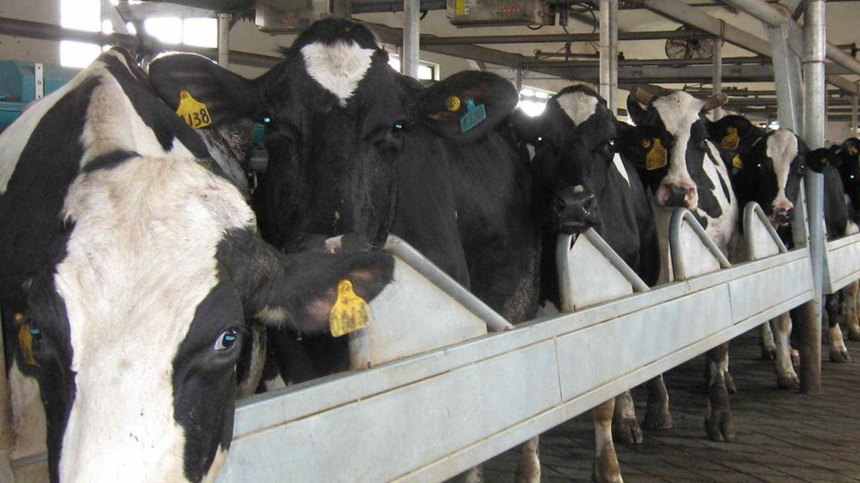 How to manage cows with RFID ear tag?
