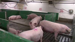 RFID intelligent automatic pig farm feeding system